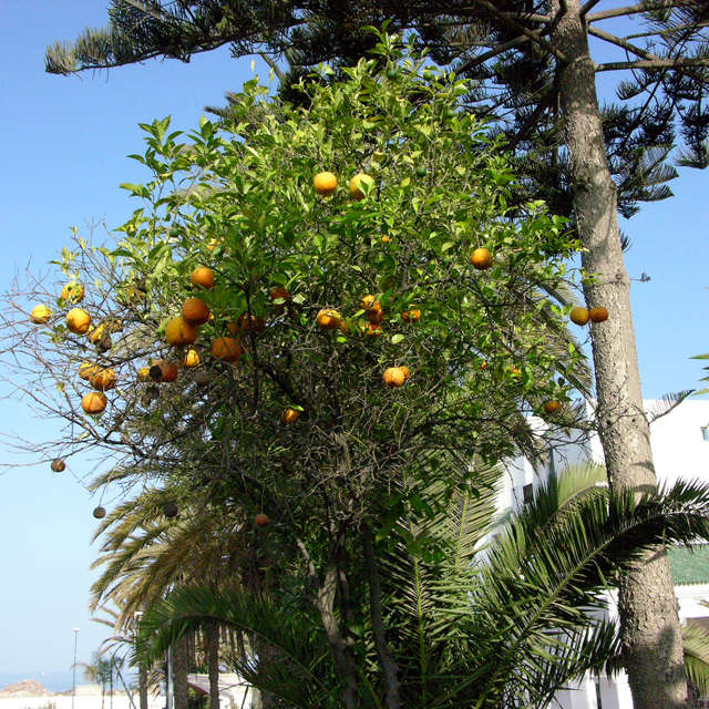 Orange tree at Agadir