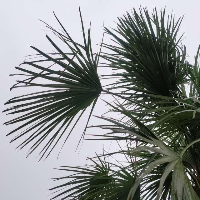 Rainy and Overcast Palms