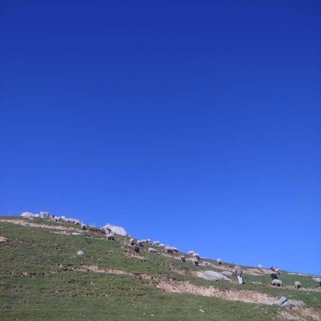 Sheep Herding on a hill