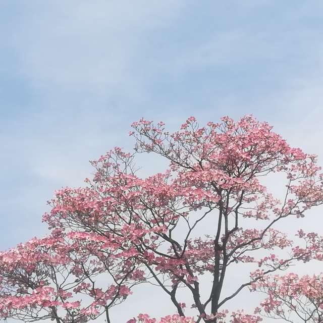 空にピンクの花