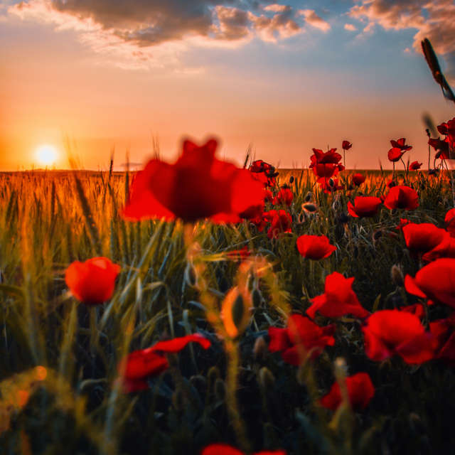 Love poppies at sunset