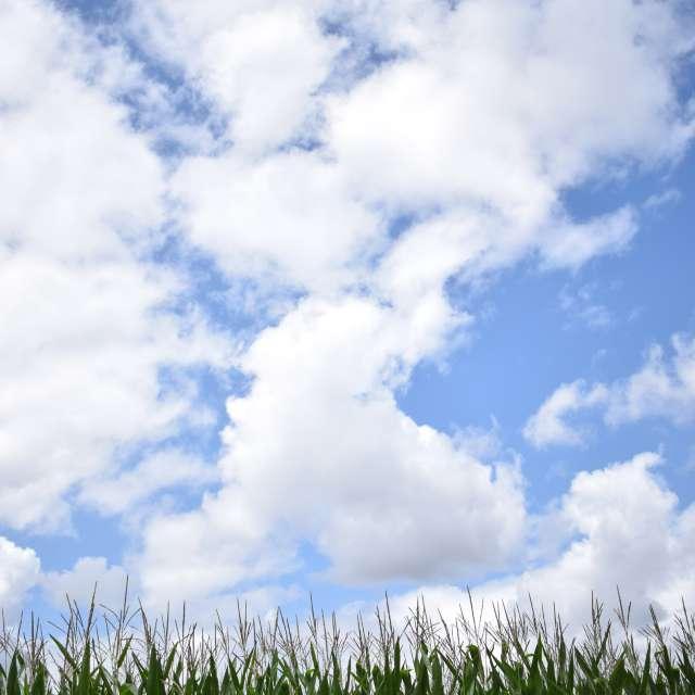 Corn crop fields of Mondego