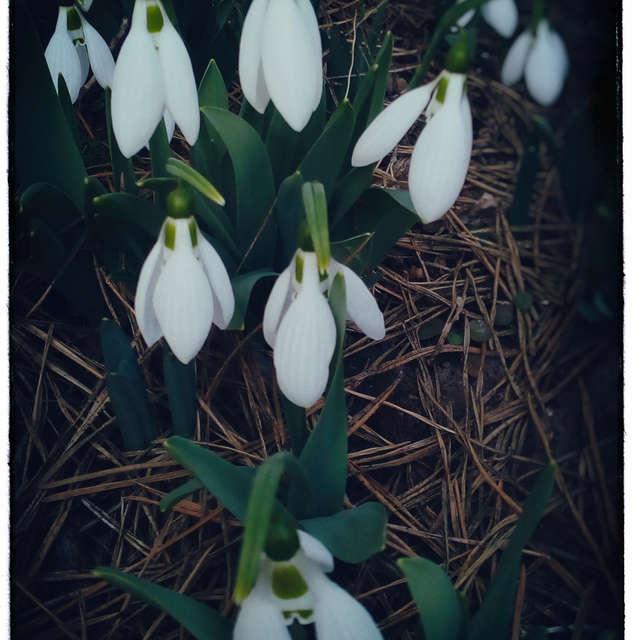 Snowdrops_02
