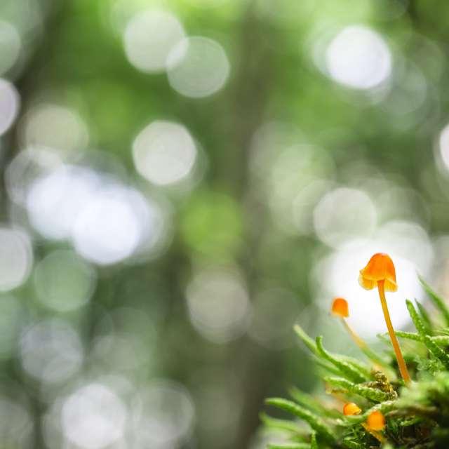苔の中の小さなキノコ【ヒナノガサ】