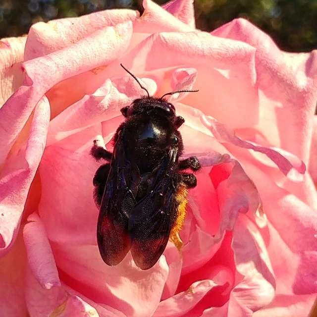 A big bumblebee