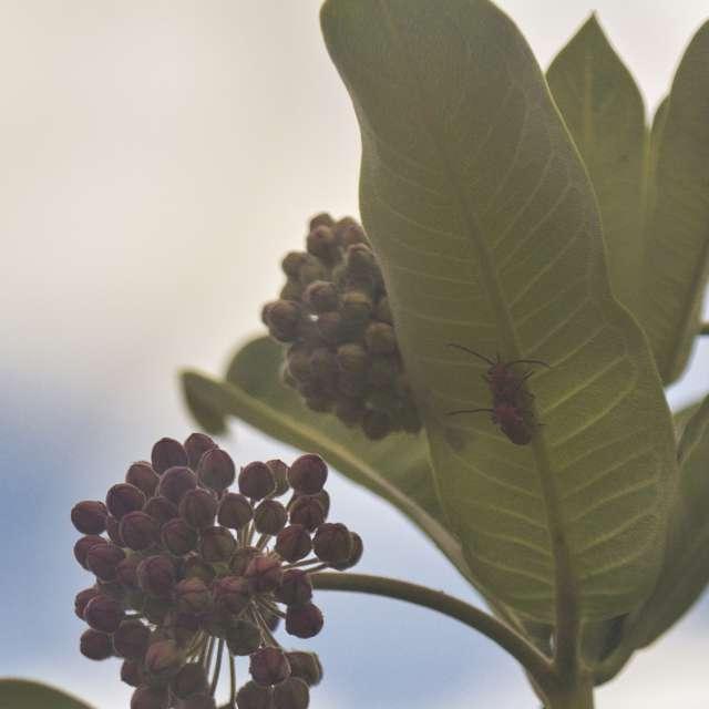 Orange bug on milkweed leaf