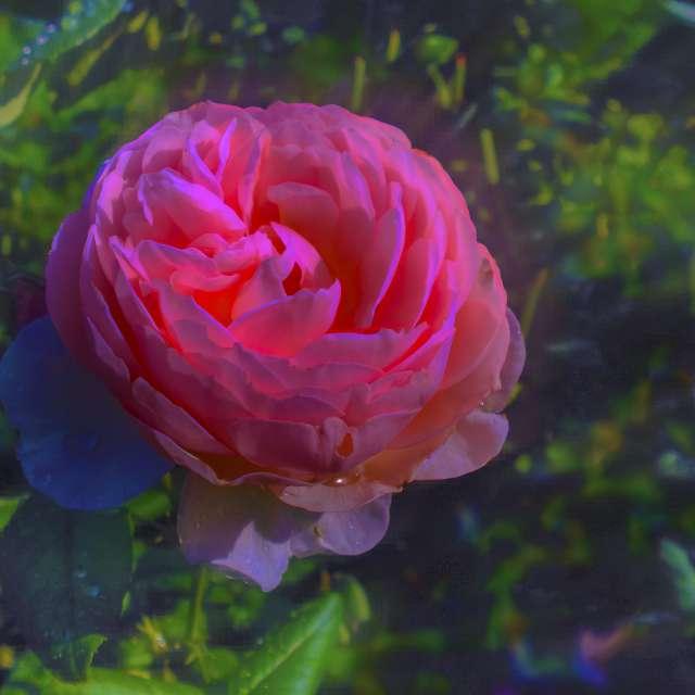 Etude #120824DSCN0399.Rose.