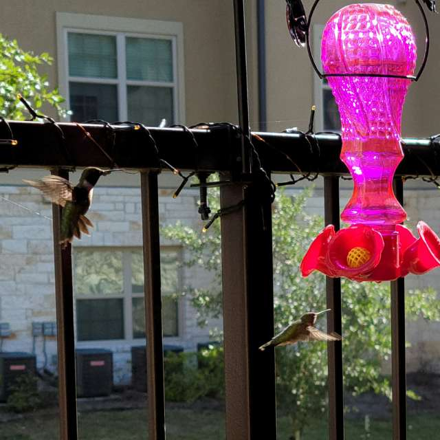 Ruby-throqted Hummingbirds