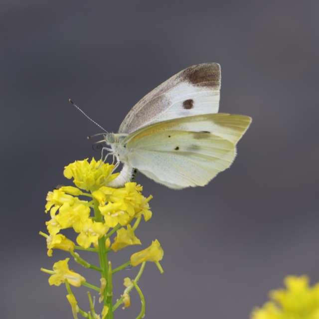 モンシロチョウが花畑を舞う