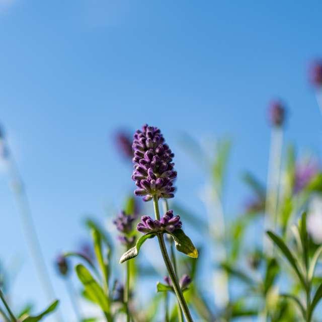 Lavender on a blue sky