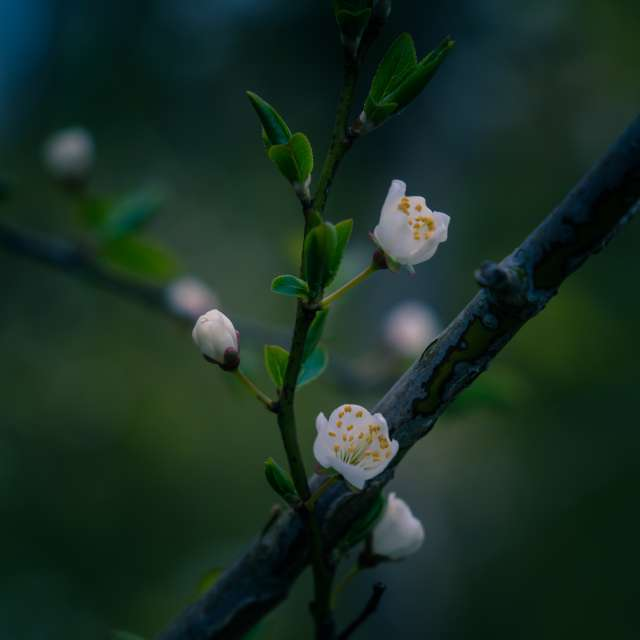 blossoming wild cherry
