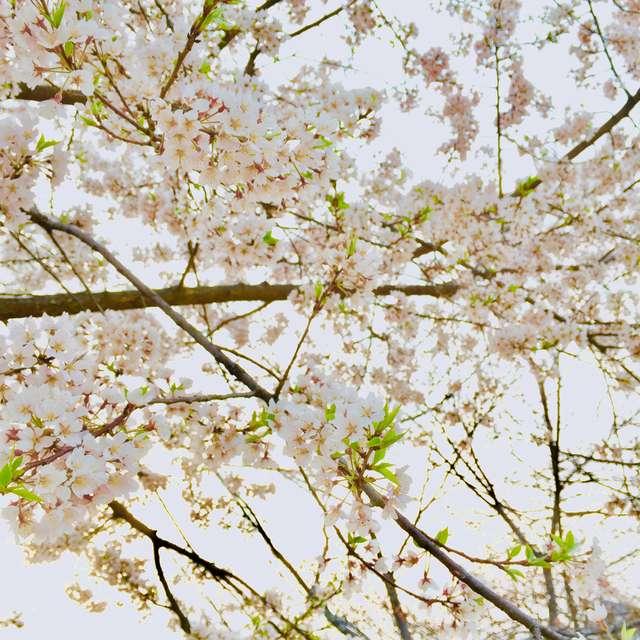 満開の江戸彼岸桜