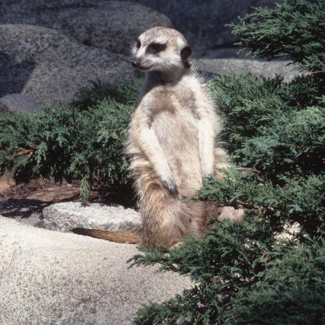 meerkat gray