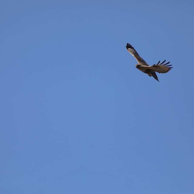 ノスリの飛翔