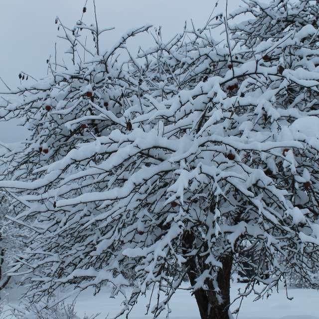 snow-covered apple tree garden