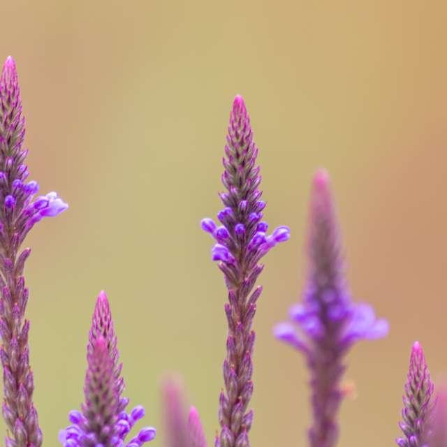 Pink filigree spring-flowers