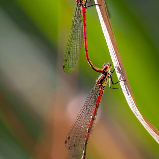 Red dragonfly couple in spring