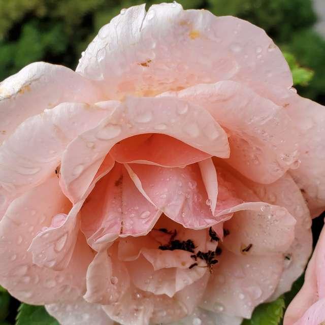 Beautiful rose on a rainy day.
