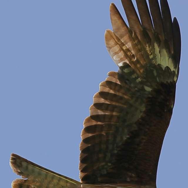大空を飛ぶトビ