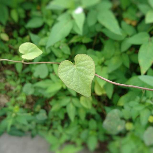 ハートの葉2
