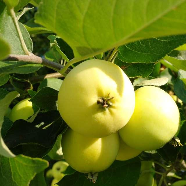Яблоки белый налив спелые