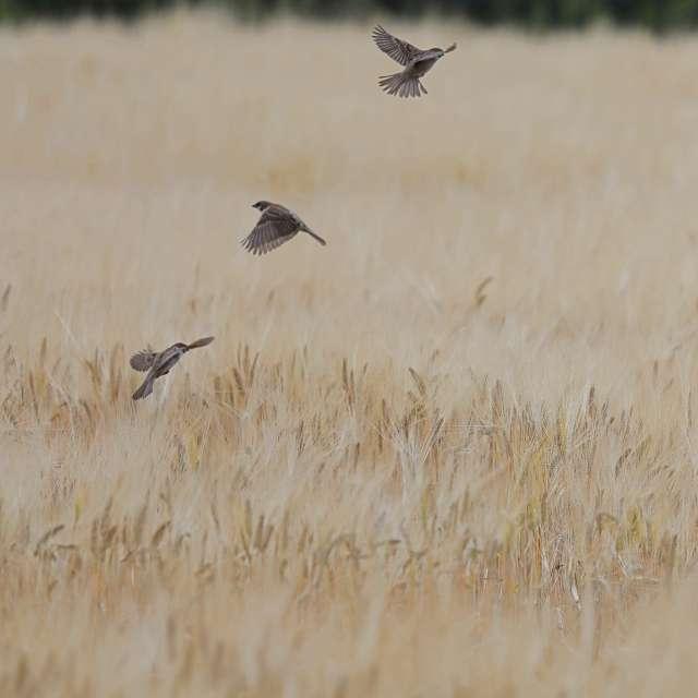 麦畑を飛び回るスズメ