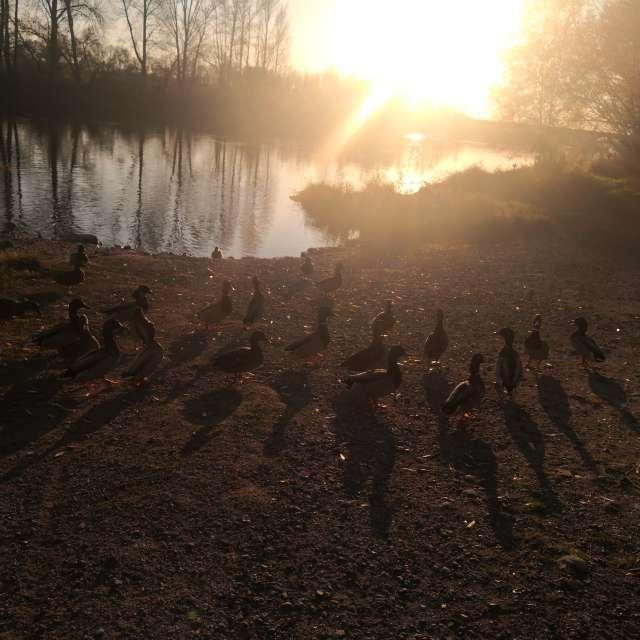Les canards du bord de Loire