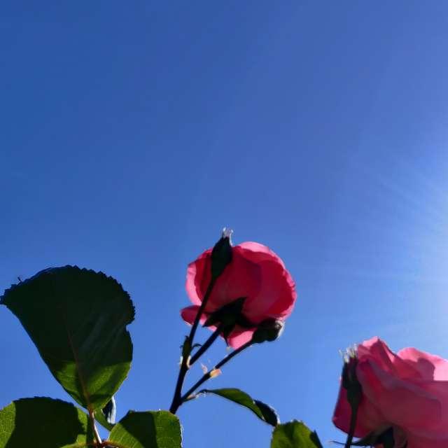 Rosas queriendo tocar el Sol.