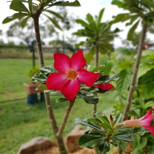 My garden- desert rose 🦜