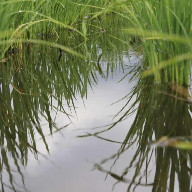 稲のトンネル