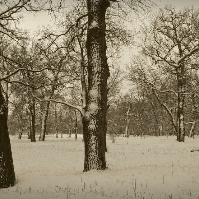 Old oaks in winter.