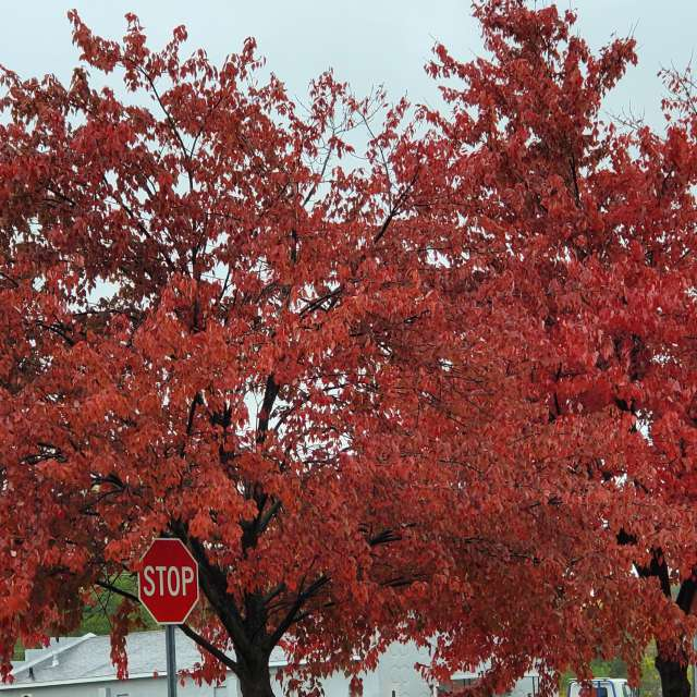 Red Tree - Stop Sign