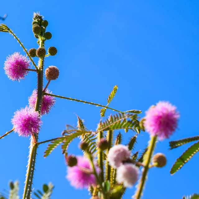 Mimosa quadrivalvis L.