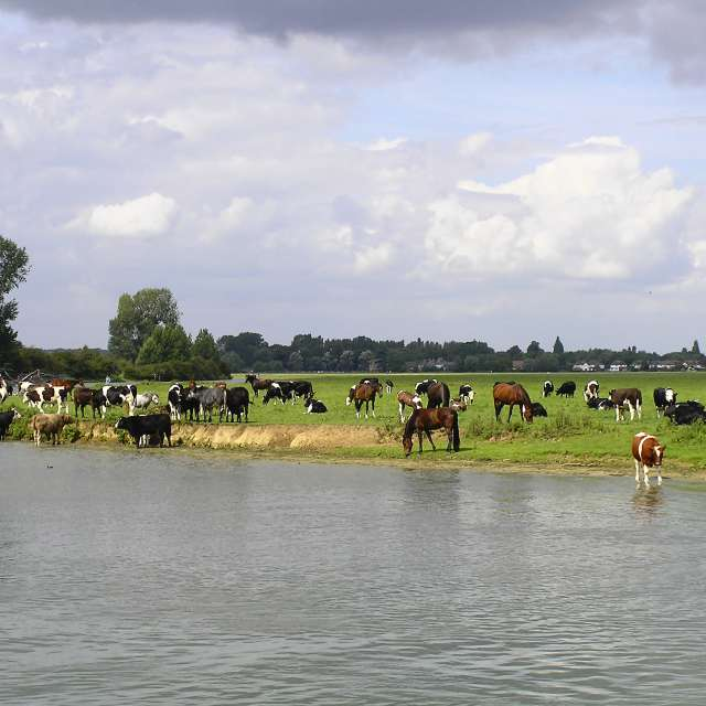 Port Meadow Horses and Cows