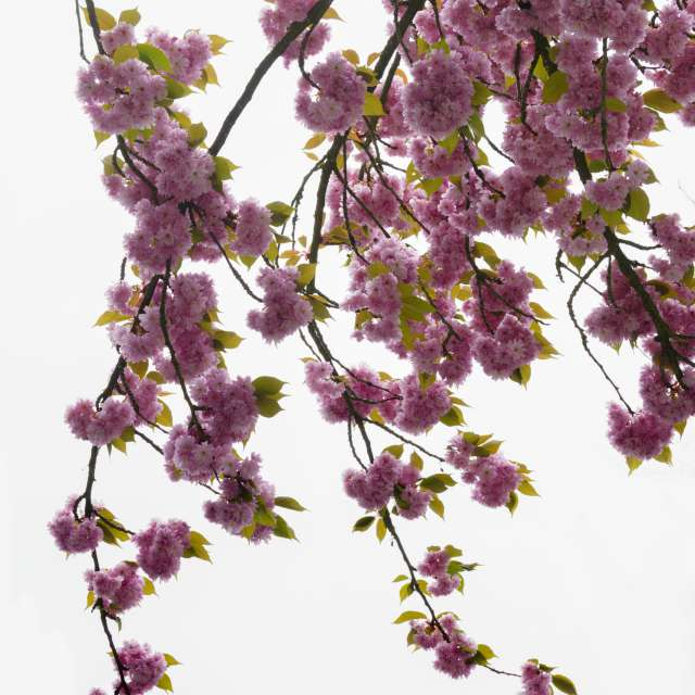 Cherry Blossoms, Bright Sky