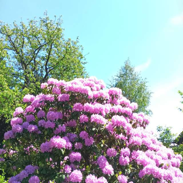 Clear Sky and Rhododendron