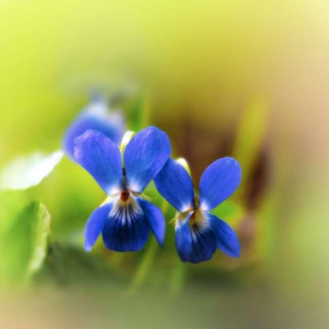 Viola uliginosa.