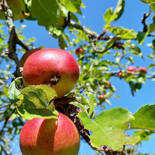 choose apple of knowledge