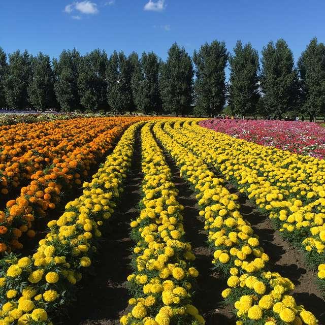 北海道富良野のお花畑