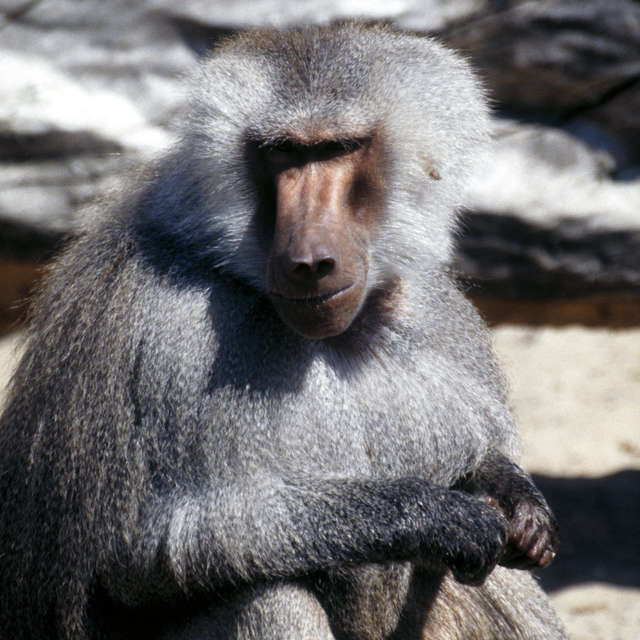 Baboon in Zoo in Warsaw