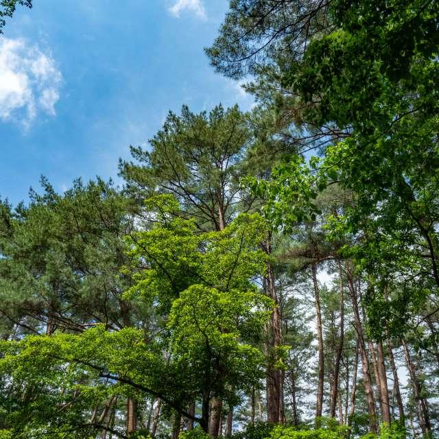 赤松林から除く青空