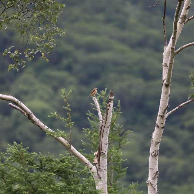 木の上のモズ