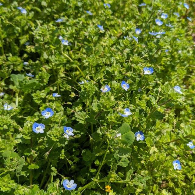 咲き誇るオオイヌノフグリ達