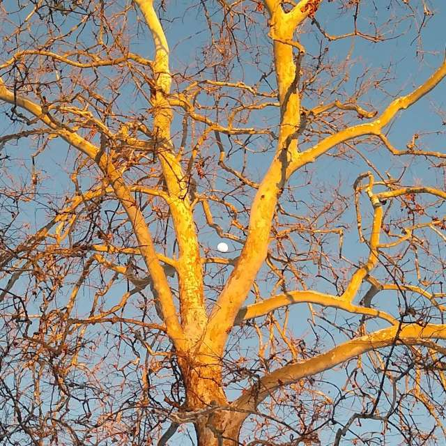 Moon thru Tree at Sunset
