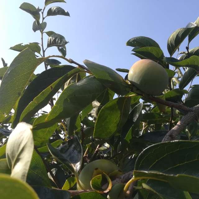 お日様に当たって色付き始めた柿の実