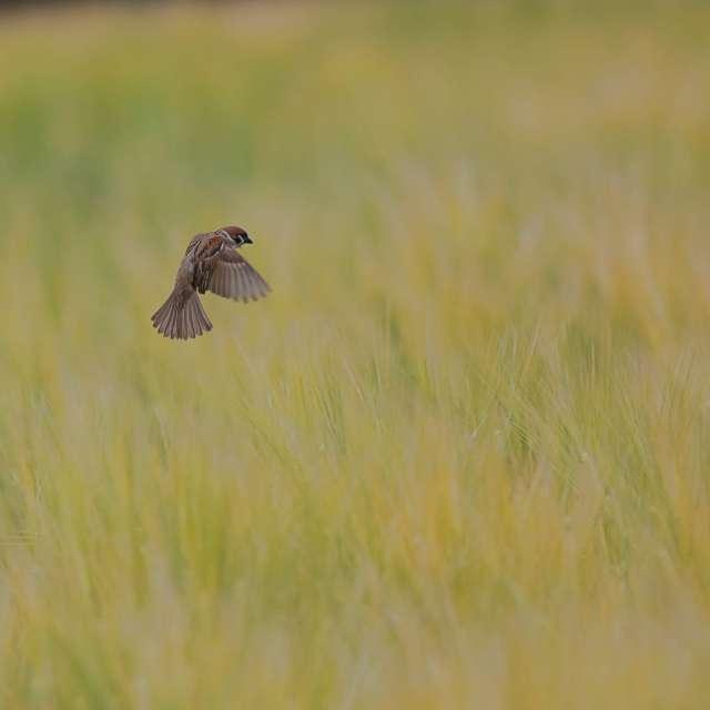 麦畑を飛行するスズメ