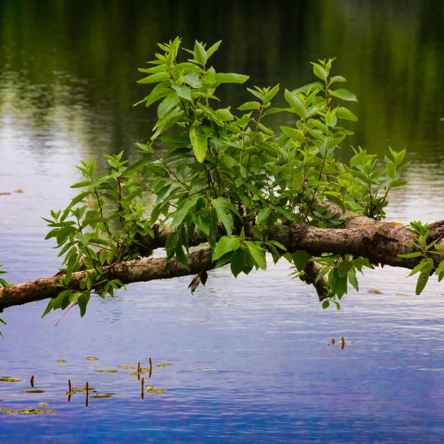 Branch over Water, Lillooet,BC
