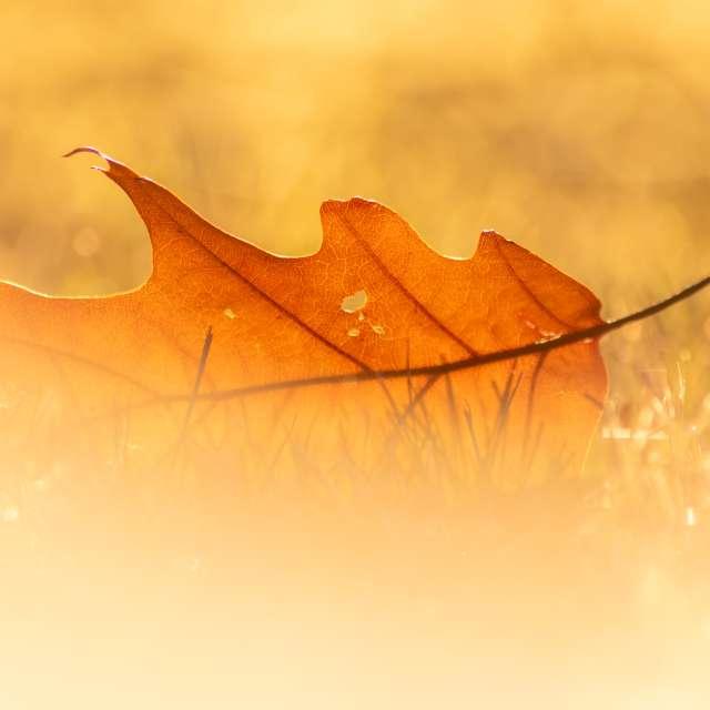 Golden leaf in fall sunlight
