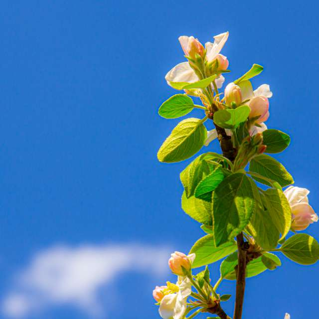 Spring. Apple tree in bloom