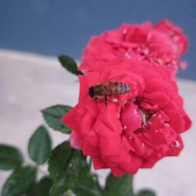 Abeja sobre rosa con agua